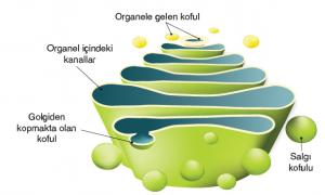 Şekil 2.24 Hücre dışına salgılanacak moleküllere son şeklini veren Golgi aygıtı