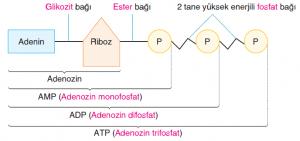 Görsel .1.99 ATP molekülünün yapısı