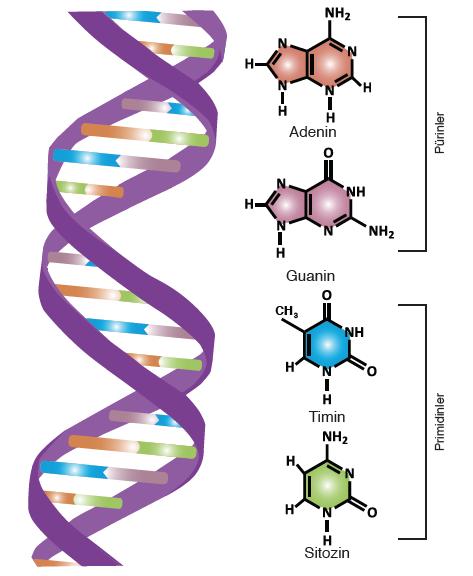Görsel 1.10: DNA'da bulunan organik bazlar