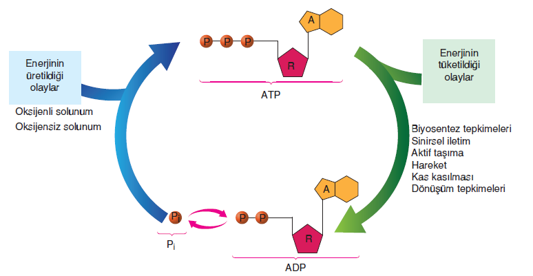 Görsel 1.100 ATP üretimi ve tüketimi