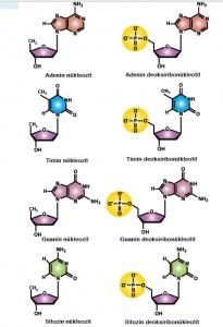 Görsel 1.12: DNA'da bulunan nükleozit ve nükleotit çeşitleri