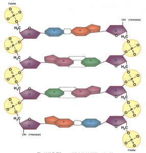 Görsel 1.14: Bir DNA parçasındaki zincirlerinin birbirine antiparalel yapısı