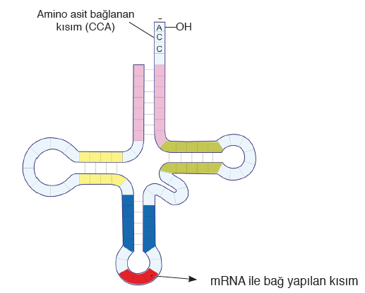 Görsel 1.16: tRNA'nın yapısı