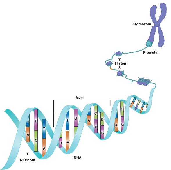 Görsel 1.17: Ökaryot hücrede genetik materyalin organizasyonu