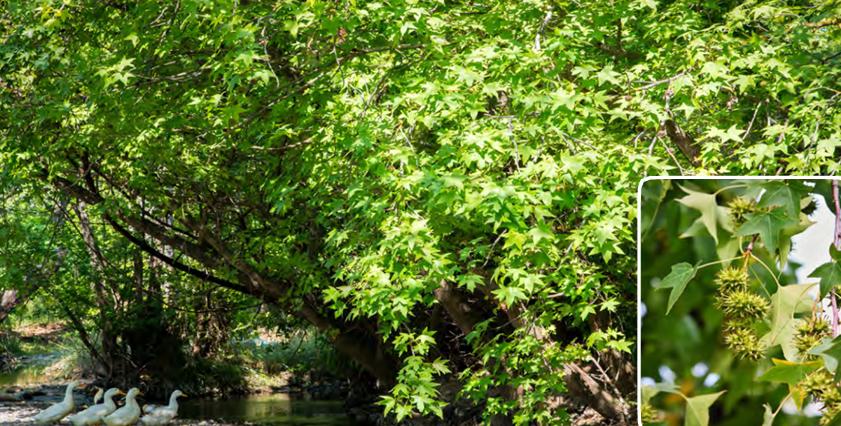 Görsel 1.171 Sığla ağacı