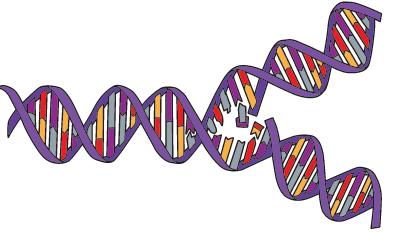 Görsel 1.18 DNA'nın yarı korunumlu eşlenmesi