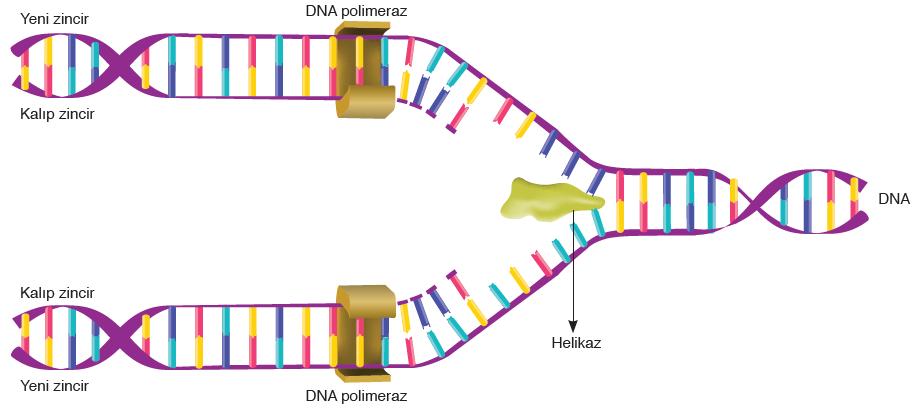Görsel 1.22 Ökaryot hücrelerde DNA'nın kendini eşlemesi