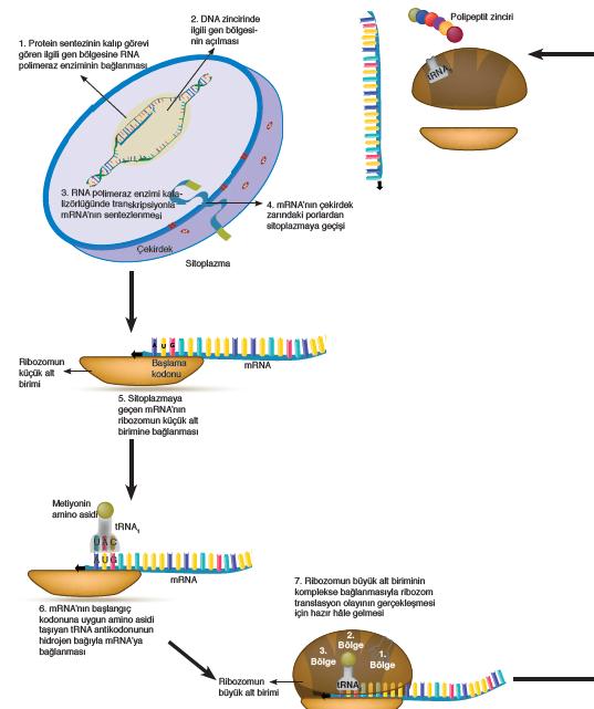 Görsel 1.27 Protein sentezi
