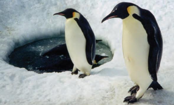 Kutuplarda yaşayan imparator penguenler