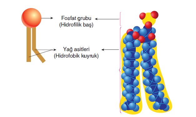 Görsel 1.66 Fosfolipitin şematik ve moleküler yapısı