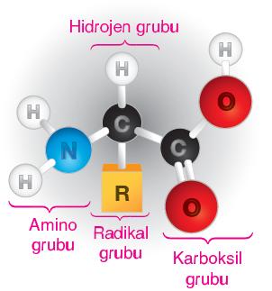 Görsel 1.68 Amino asitin yapısı
