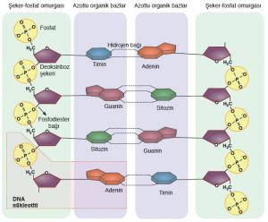 Görsel 1.8: DNA'nın yapısı