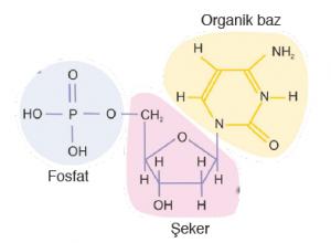 Görsel 1.9: Nükleotit