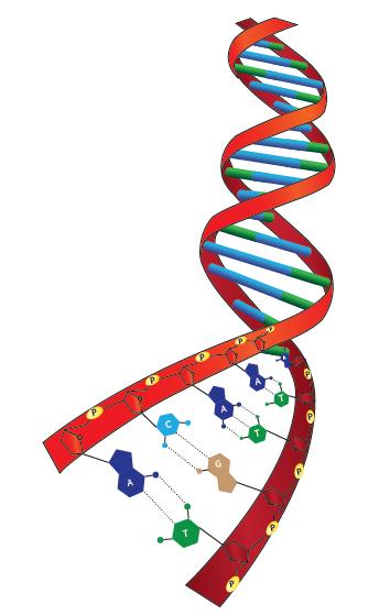 Görsel 1.97 DNA molekülünün üç boyutlu yapısı