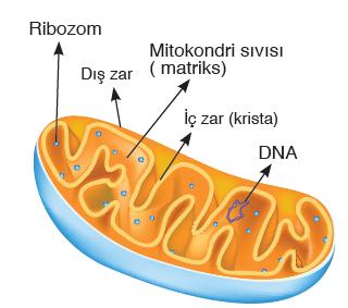 Görsel 2.17 Mitokondrinin yapısı