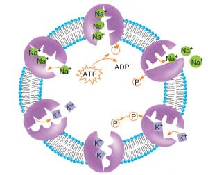 Görsel 2.18 Sinir hücrelerinde aktif taşıma.