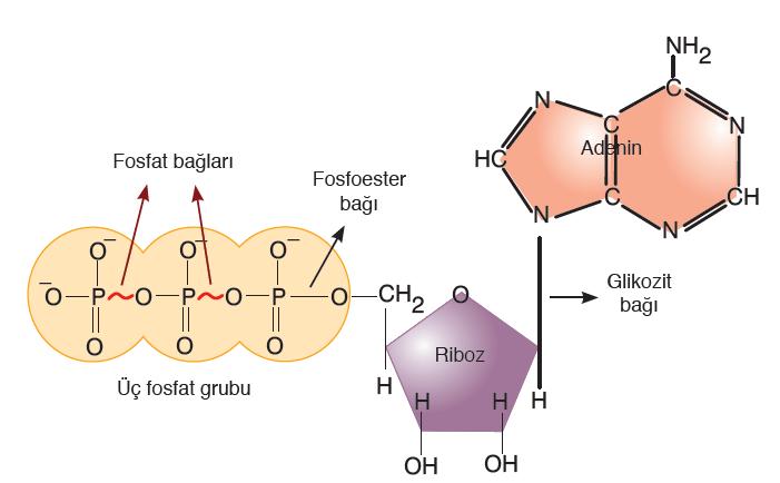 Görsel 2.2 ATP'nin yapısı