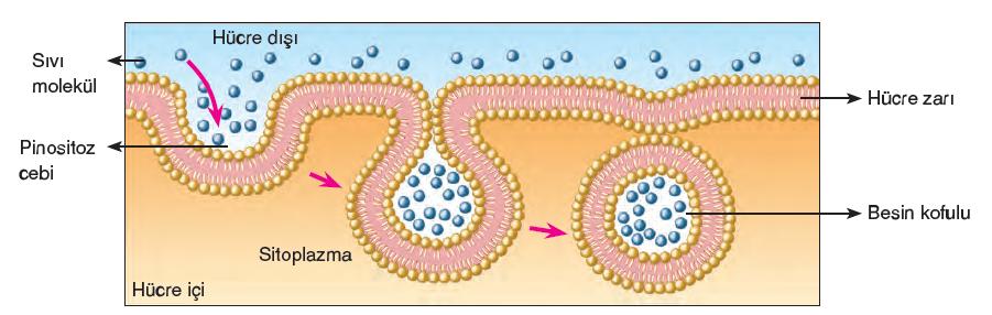 Görsel 2.20 Çeper taşımayan bir hücrede pinositoz cebiyle besinin yutulması