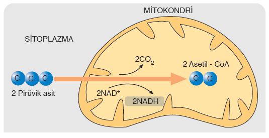 Görsel 2.20 Pirüvik asidin mitokondride asetil - CoA'ya dönüşümü