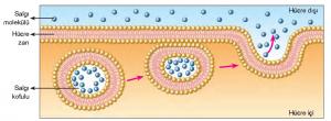 Görsel 2.21 Zardan geçemeyecek büyüklükteki bir salgının ekzositoz ile hücre dışına gönderilmesi