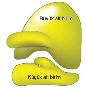 Görsel 2.22 Proteinin sentezlendiği ribozom organeli