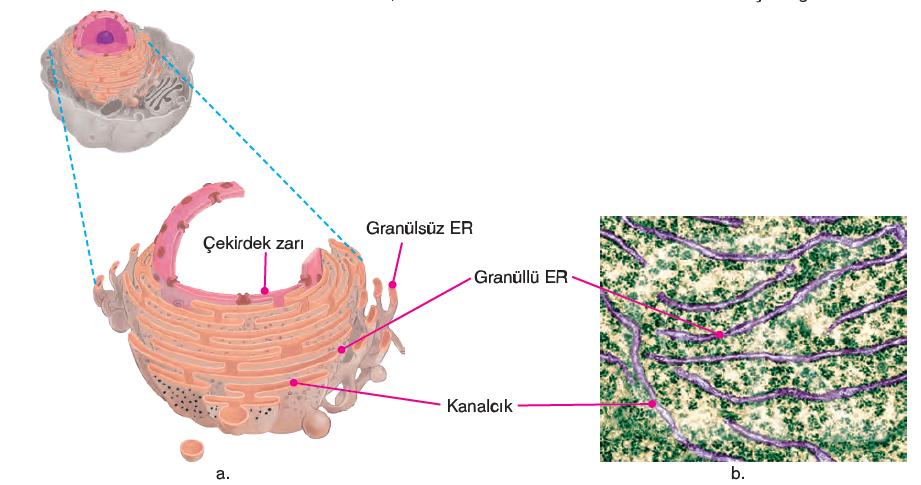 Görsel 2.23. a. Endoplazmik retikulumun şekli b.Endoplazmik retikulumun 3000 kez büyütülmüş elektron mikroskop görüntüsü