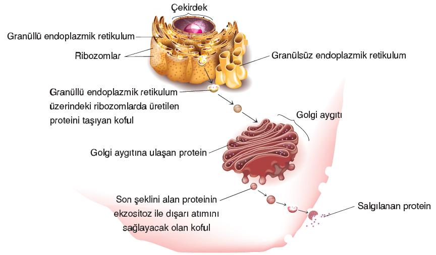 Görsel 2.25. Protein üretimi ve hücre dışına salgılanması