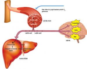 Görsel 2.26 Laktik asidin bazı organlar üzerindeki etkisi