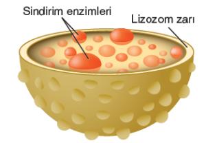 Görsel 2.26 Lizozom organeli, gelişmiş bitki hücrelerinde bulunmaz.