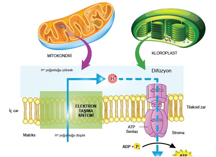 Görsel 2.27 Mitokondri ve kloroplastta elektron taşıma sistemi