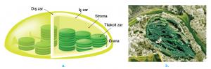 Görsel 2.33 a. Kloroplastın yapısı. b. 30.000 kez büyütülmüş elektron mikroskop görüntüsü