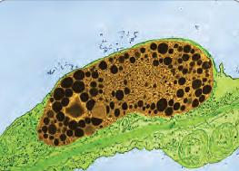 Görsel 2.34 Kromoplastın elektron mikroskobunda 3000 kez büyütülmüş görüntüsü