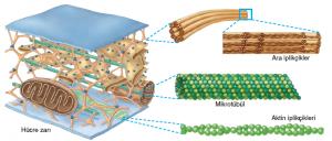 Görsel 2.36 Hücre iskeletini oluşturan yapısal elemanlar