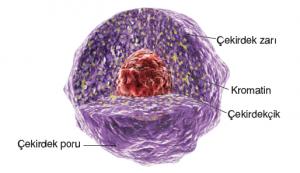 Görsel 2.37 Ökaryot hücrelerin yönetim merkezi çekirdek