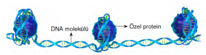 Görsel 2.39 Kromatin ipliğin özel proteinlere sarılarak düzenli hâle gelmesi