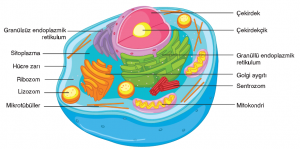 Görsel 2.41 Hayvan hücresinin yapısı