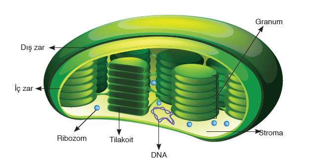 Görsel 2.5 Kloroplastın yapısı