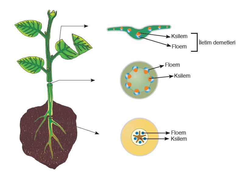 Görsel 3.11 Bitkinin kök, gövde ve yapraklarında iletim dokunun şematik gösterimi