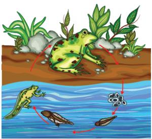 Görsel 3.50 Kurbağanın metamorfozu
