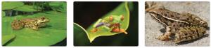 Görsel 3.51. İki yaşamlılardan bazı kurbağa örnekleri