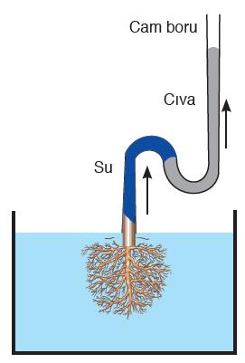 Görsel 3.68 Kök basıncının kesilmiş bitki kökü kullanılarak gösterimi