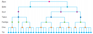 Görsel 3.7 Türden âleme kadar sınıflandırmayı oluşturan birimler