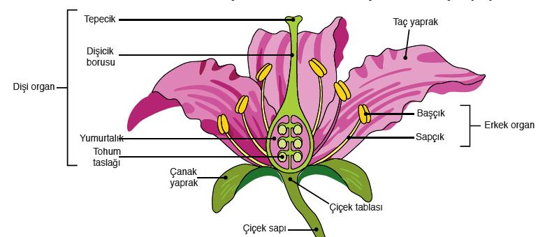 Görsel 3.73 Kapalı tohumlu bitkilerde çiçeğin yapısı