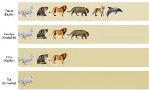 Görsel 3.8 Ev kedisinin (Felis domesticus) doğal sınıflandırma yöntemine göre sınıflandırılması