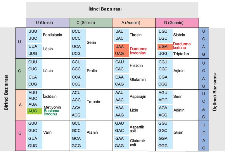 Tablo 1.1: Kodonlar ve Kodonların Şifrelediği Amino Asitler
