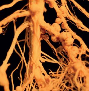 Baklagillerin köklerindeki nodüllerde yaşayan bakteriler atmosfer azotunu bağlar.