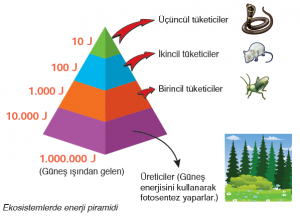 Ekosistemlerde enerji piramidi