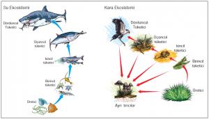 Su ve kara ekosistemlerinde besin zinciri örnekleri