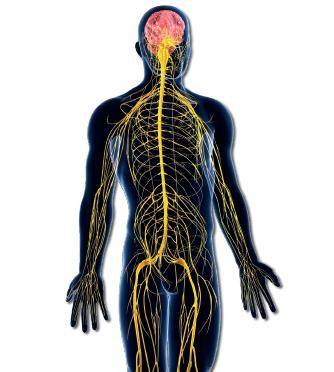 Çevresel Sinir Sistemi - Otonom Sinir Sistemi ve Somatik Sinir Sistemi