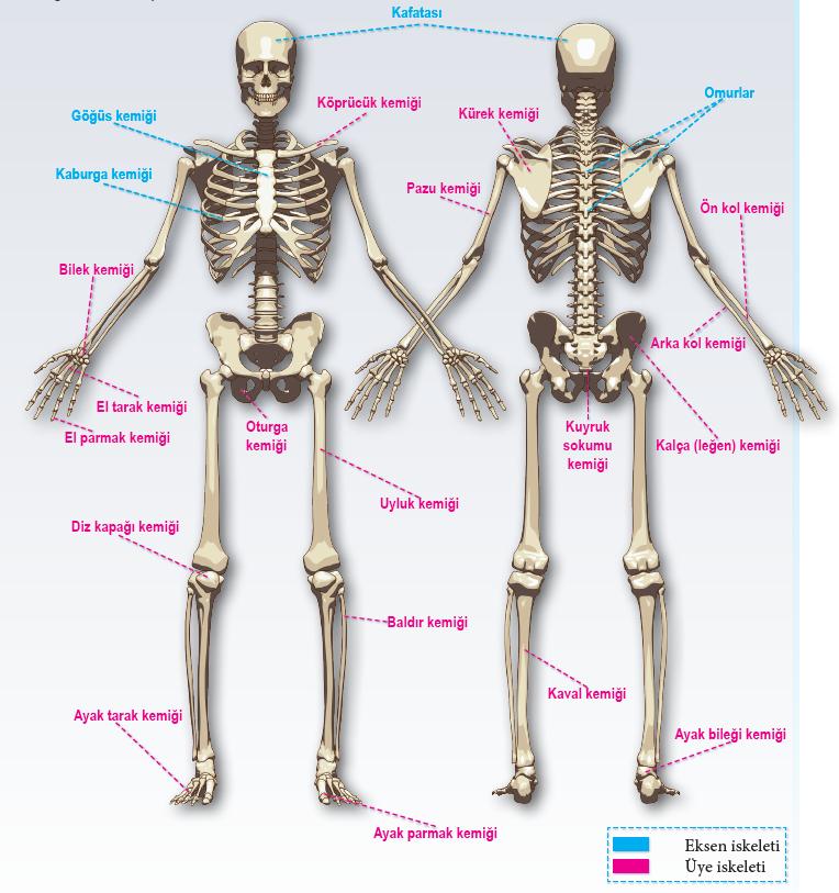 İnsan iskeletinde yer alan kemikler